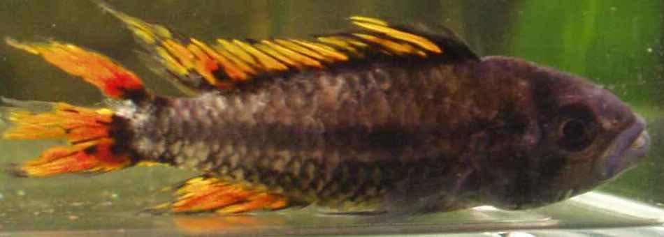 offen schwimmende tanganjika barsche